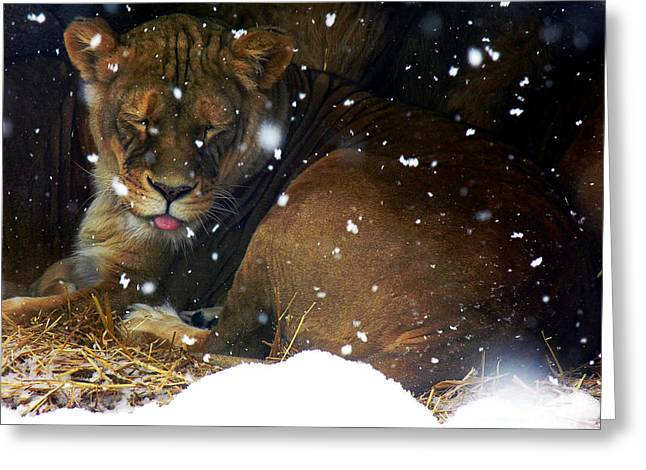Lioness Greeting Cards - Winter Daydream Greeting Card by Ryan Wood