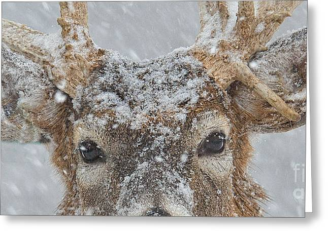 Winter Storm Greeting Cards - Winter Deer Eyes Only Greeting Card by Timothy Flanigan