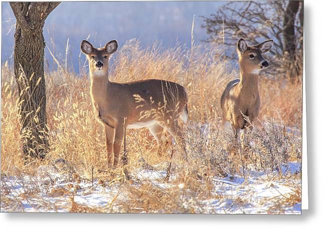Winter Deer Greeting Card by Jill Van Doren Rolo