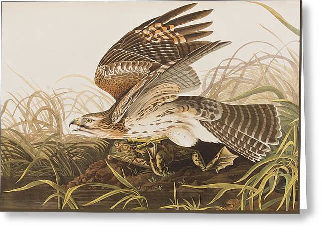Hawk Bird Greeting Cards - Winter Hawk Greeting Card by John James Audubon