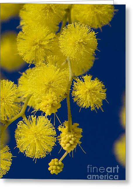 South Of France Greeting Cards - Winter Mimosa Blossoms Greeting Card by Jean-Louis Klein & Marie-Luce Hubert