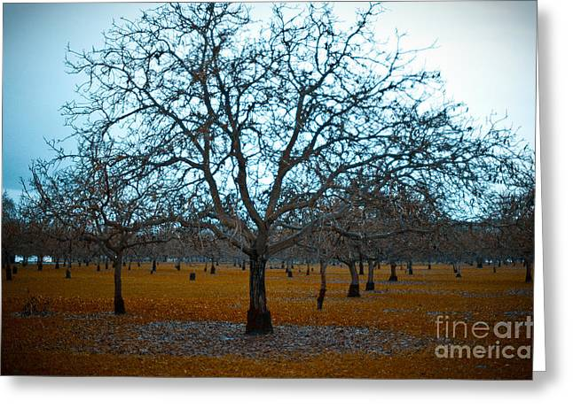 Sonoma County Greeting Cards - Winter Orchard Greeting Card by Derek Selander