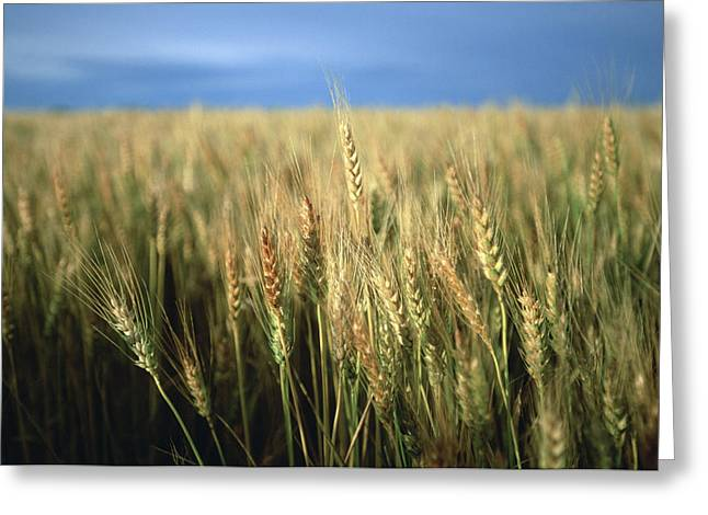 Winter Wheat Greeting Cards - Winter Wheat In Linn, Kansas Greeting Card by Joel Sartore