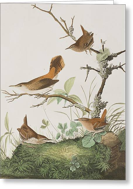 Winter Wren Or Rock Wren Greeting Card by John James Audubon