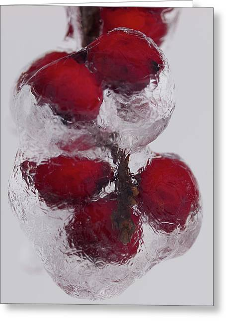 Berry Greeting Cards - Winterberries in Ice Greeting Card by Paul R Sell Jr