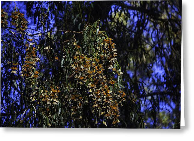 Wintering Monarchs Greeting Card by Garry Gay