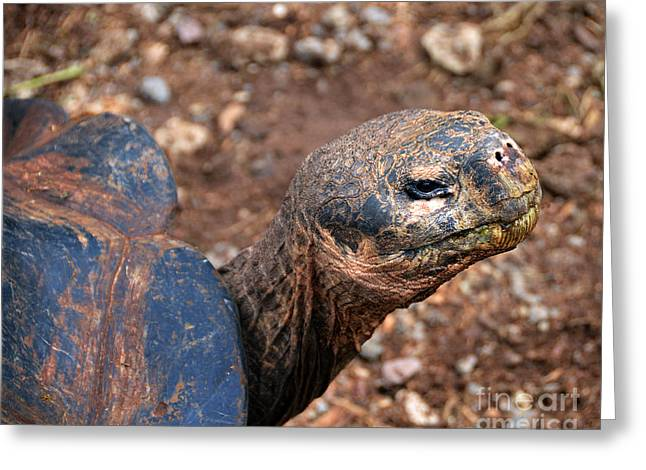 Santa Cruz Greeting Cards - Wise Old Tortoise Greeting Card by Catherine Sherman