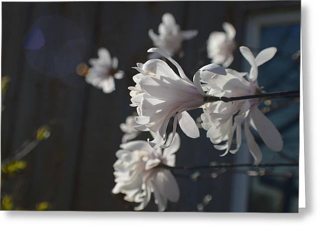 Abstract Digital Photographs Greeting Cards - Wispy Mini Magnolias Greeting Card by Tina M Wenger