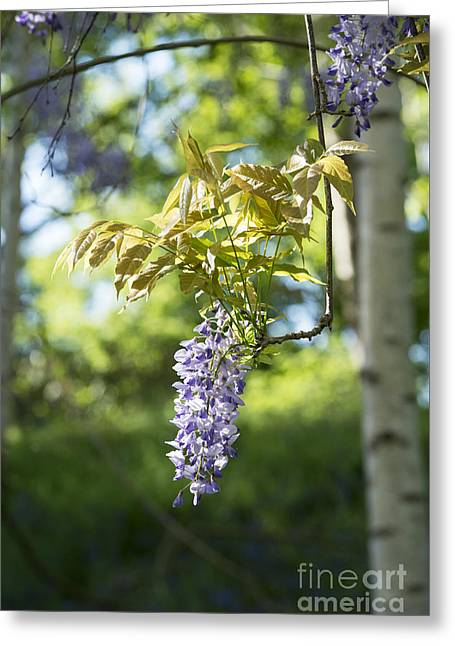Wisteria Leaves Greeting Cards - Wisteria Floribunda in Sunlight Greeting Card by Tim Gainey