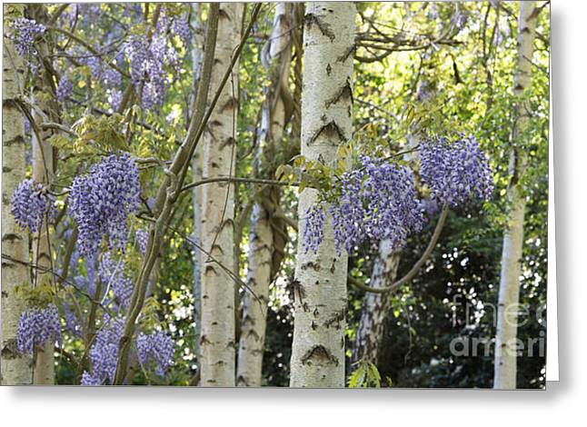 Wisteria Leaves Greeting Cards - Wisteria Floribunda Panoramic Greeting Card by Tim Gainey