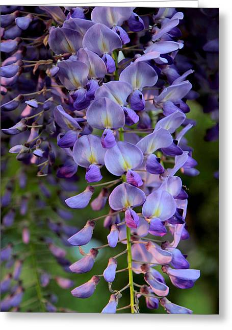 Vines Greeting Cards - Wisteria in Bloom Greeting Card by Jessica Jenney