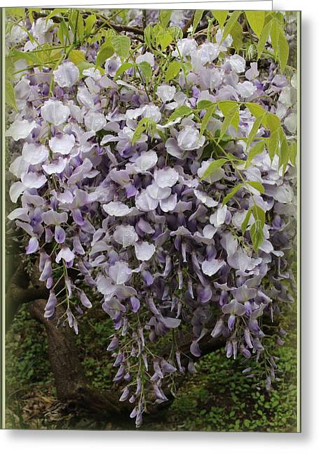 Wisteria In Bloom Greeting Cards - Wisteria in Full Bloom Greeting Card by  Photographic Art and Design by Dora Sofia Caputo