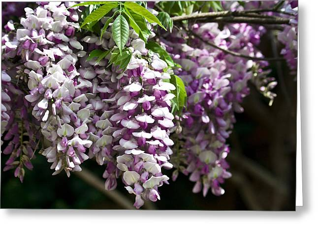 Heavenly Scent Greeting Cards - Wisteria  Greeting Card by Teresa Mucha