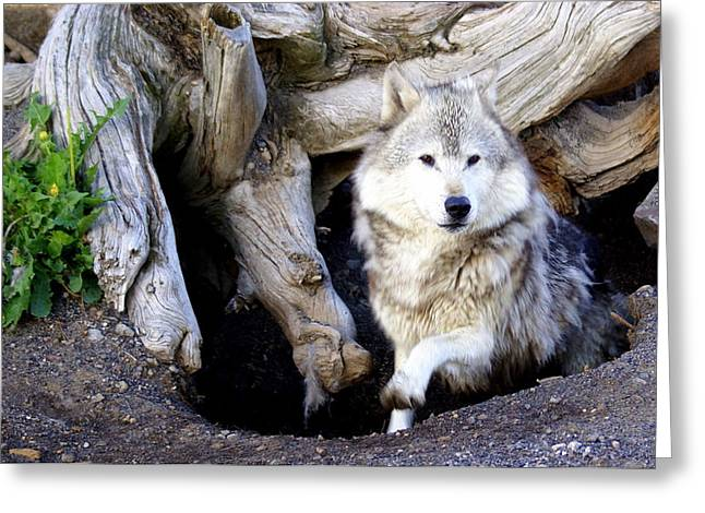 Marty Koch Greeting Cards - Wolf Den 1 Greeting Card by Marty Koch