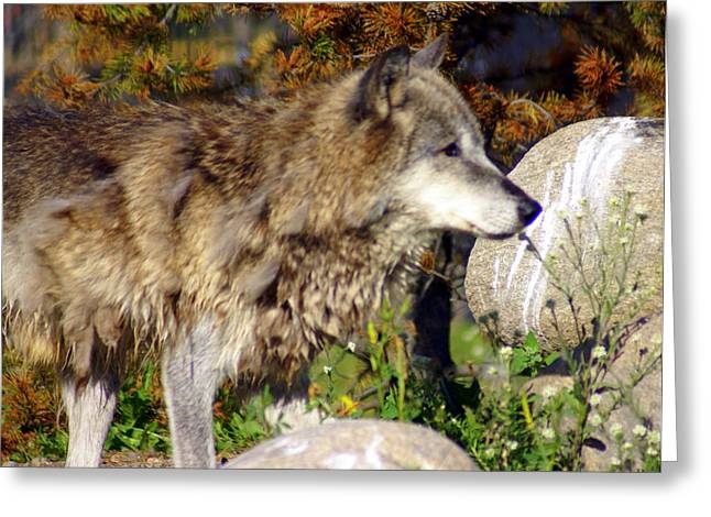 Wolf On Patorl Greeting Card by Marty Koch