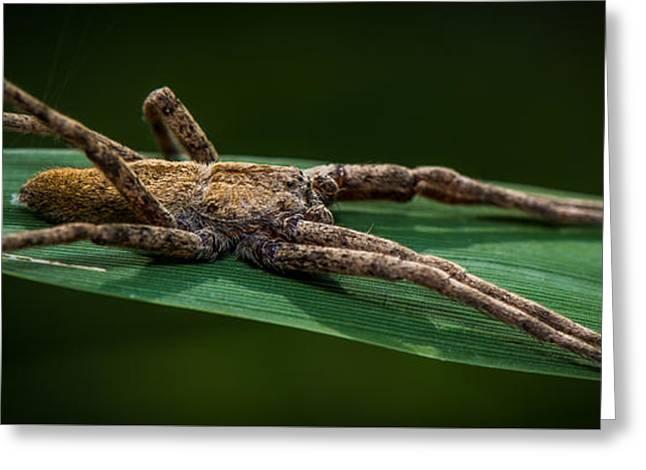 Arachnia Greeting Cards - Wolf Spider Greeting Card by Paul Freidlund