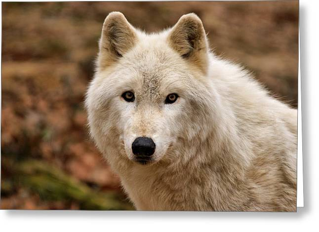 Arctic Wolf Greeting Cards - Wolf Watching Greeting Card by Sandy Keeton