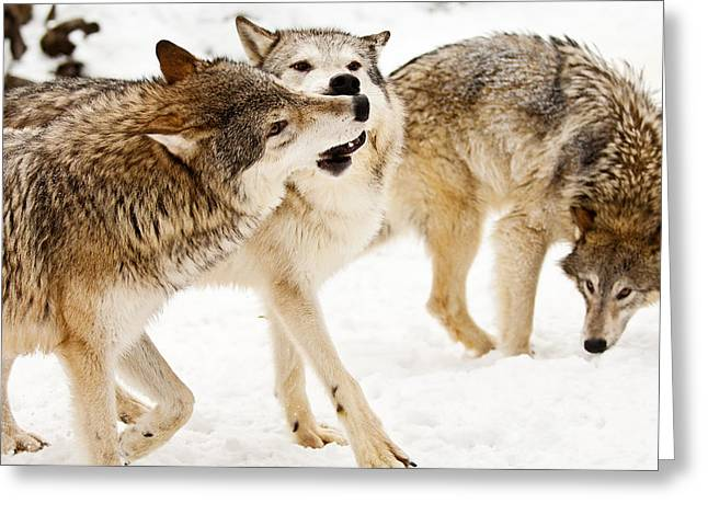 Hairy Wolf Greeting Cards - Wolves at play Greeting Card by Melody Watson