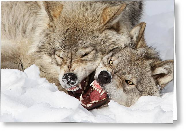 Wolves Photographs Greeting Cards - Wolves Rules Greeting Card by Mircea Costina