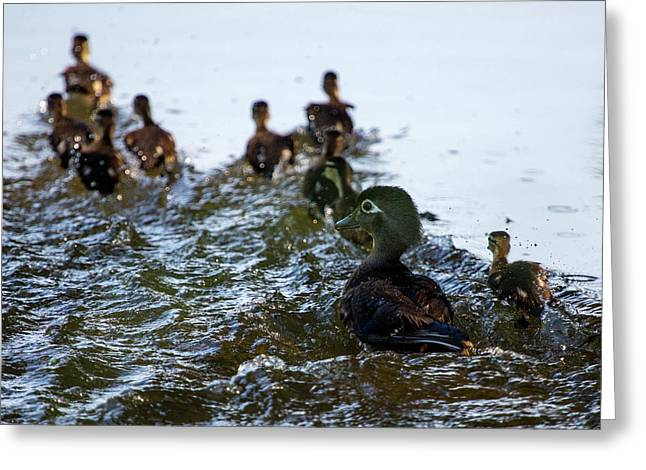 Wood Duck And Ducklings Greeting Card by Flying Turkey