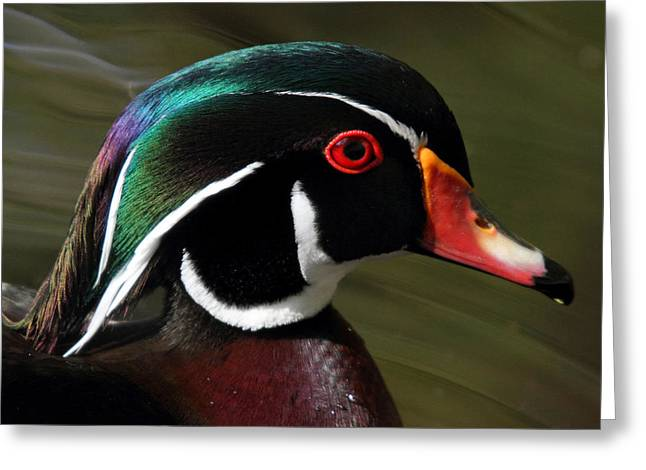 Wood Duck at Beaver lake Stanley park Vancouver Canada Greeting Card by Pierre Leclerc Photography