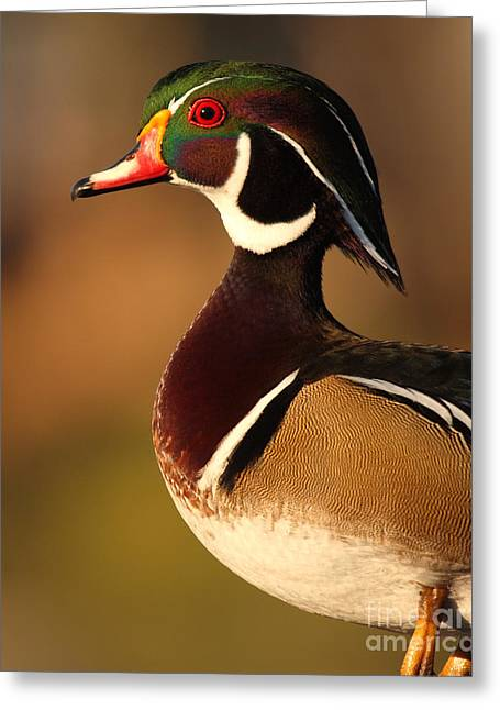 Wood Duck Greeting Cards - Wood Duck Drake Looking Into The Distance Greeting Card by Max Allen
