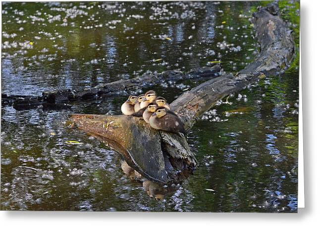 Hunting Bird Greeting Cards - Wood Duck ducklings Greeting Card by Asbed Iskedjian