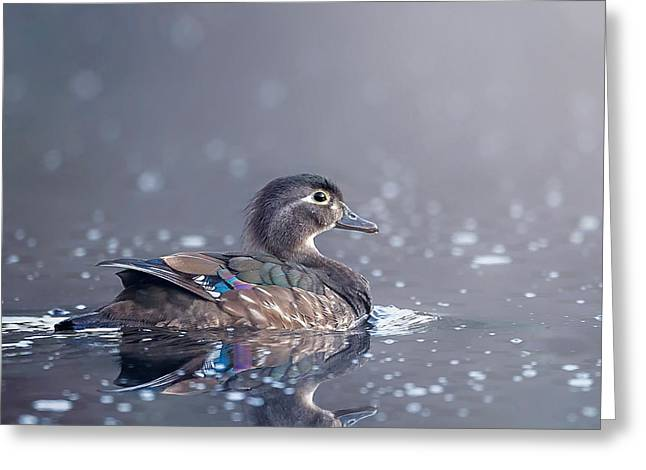 Soft Light Greeting Cards - Wood Duck Hen Square Greeting Card by Bill Wakeley