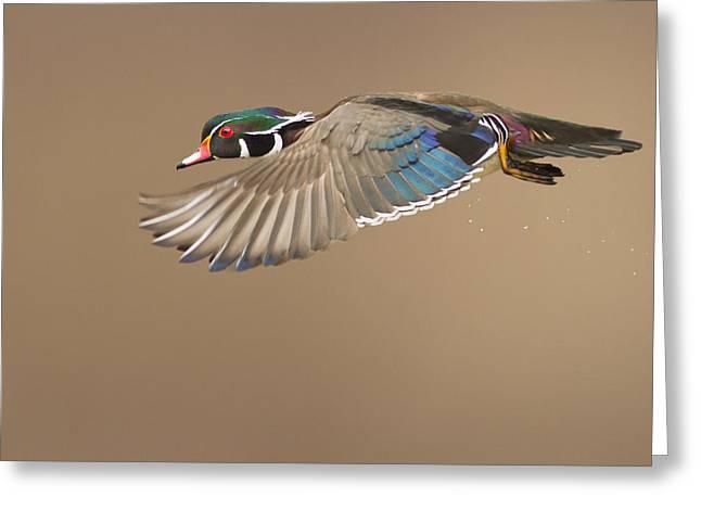 Wood Duck Greeting Cards - Wood Duck Greeting Card by Mircea Costina