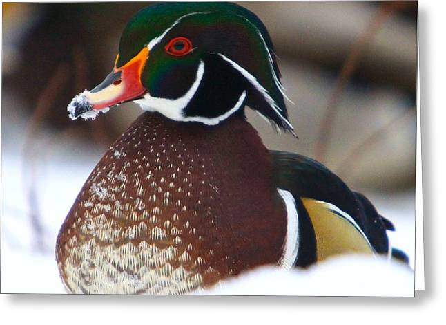 Diving Greeting Cards - Wood Duck Greeting Card by Robert Pearson