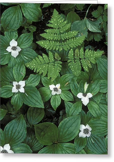 Dogwood Lake Greeting Cards - Wood Fern Dryopteris Dilatata And Dwarf Greeting Card by Rich Reid