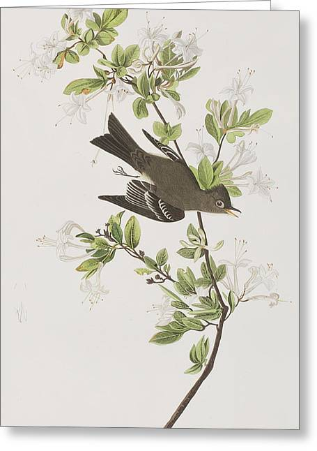 Green Leafs Drawings Greeting Cards - Wood Pewee Greeting Card by John James Audubon