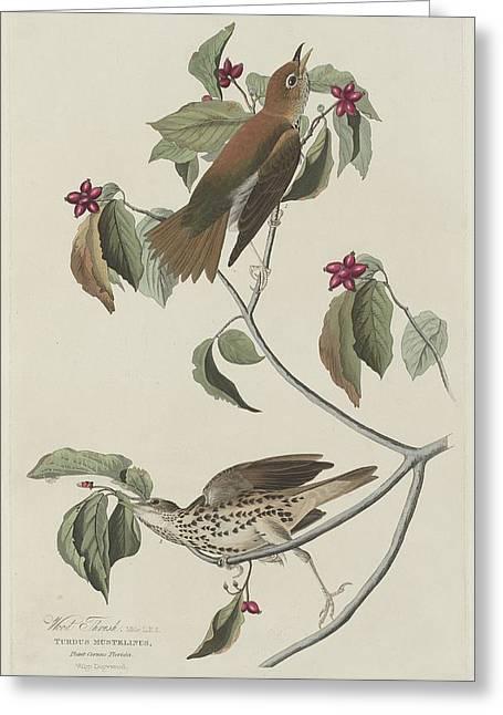 Thrush Greeting Cards - Wood Thrush Greeting Card by John James Audubon