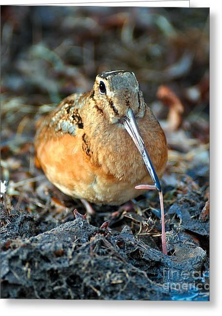 Woodcock Greeting Cards - Woodcock Worm Tug Greeting Card by Timothy Flanigan