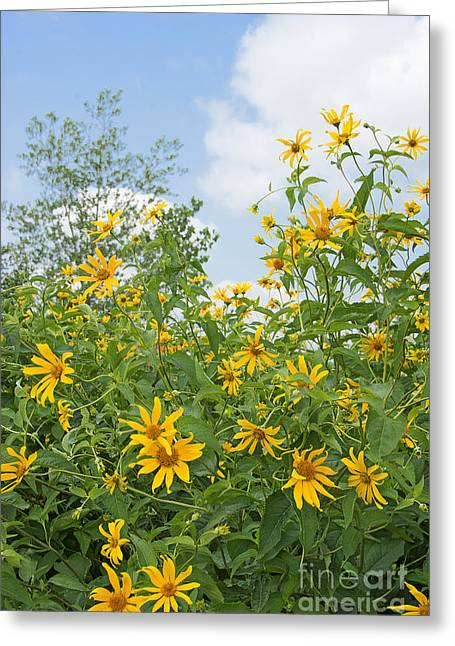 Yellow Sunflower Greeting Cards - Woodland Sunflowers Greeting Card by Regina Geoghan
