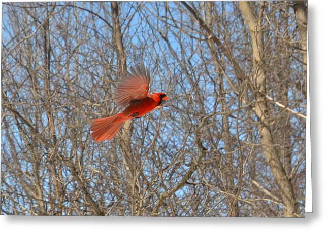Shades Of Red Greeting Cards - Woodlands red of flash in-flight Greeting Card by Asbed Iskedjian