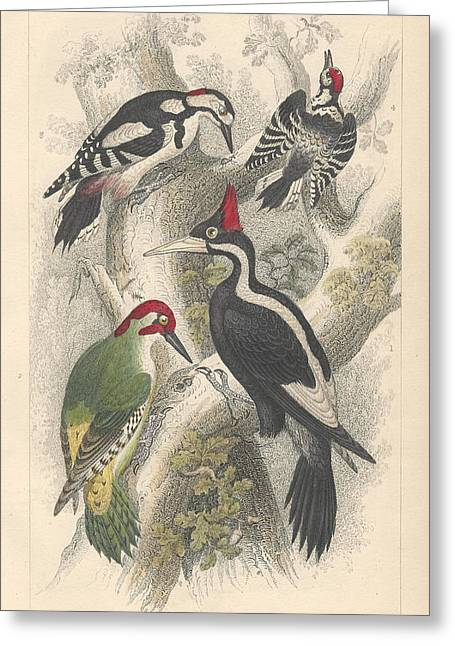 Woodpecker Greeting Cards - Woodpeckers Greeting Card by Oliver Goldsmith