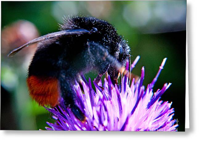 Nature Scene Greeting Cards - Worker Bumble Bee Bombus lapidarius Black and Orange Greeting Card by Chris Smith