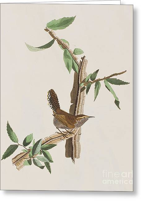 Wren Greeting Card by John James Audubon