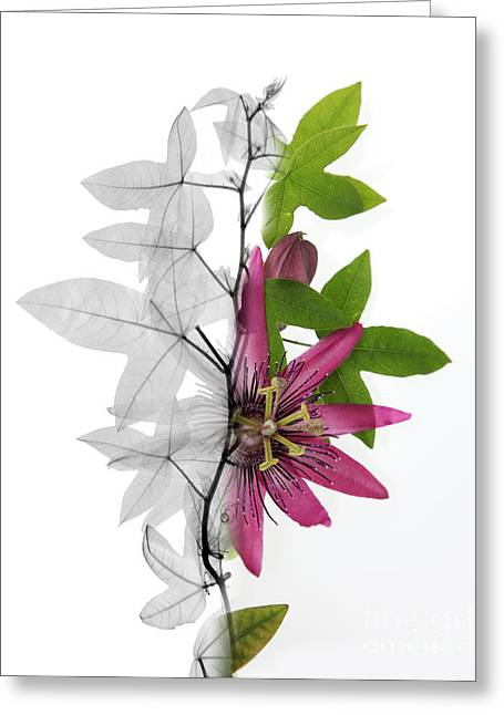 Recently Sold -  - Biological Greeting Cards - X-ray Of A Passion Flower Greeting Card by Ted Kinsman