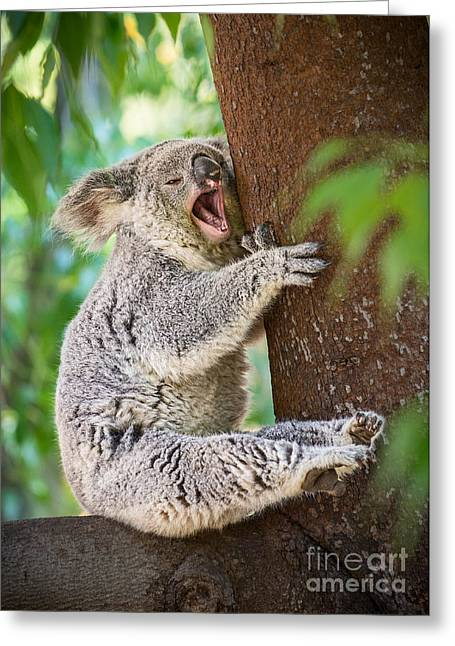 Koala Photographs Greeting Cards - Yawn and Stretch Greeting Card by Jamie Pham