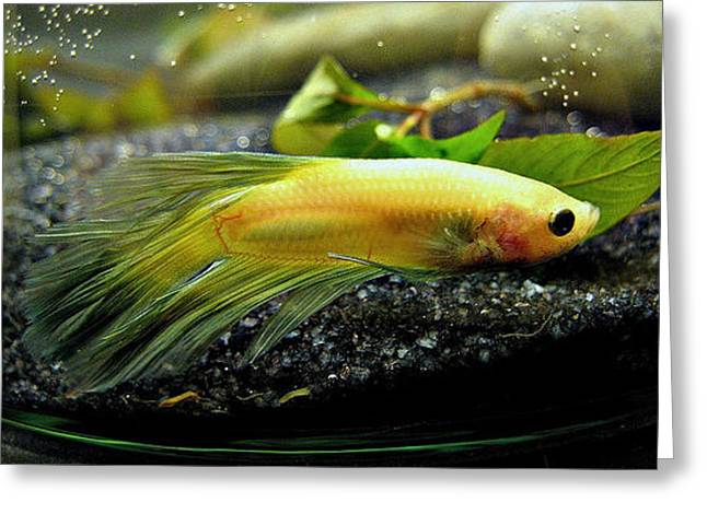Betta Greeting Cards - Yellow and Green Betta Greeting Card by CL Redding