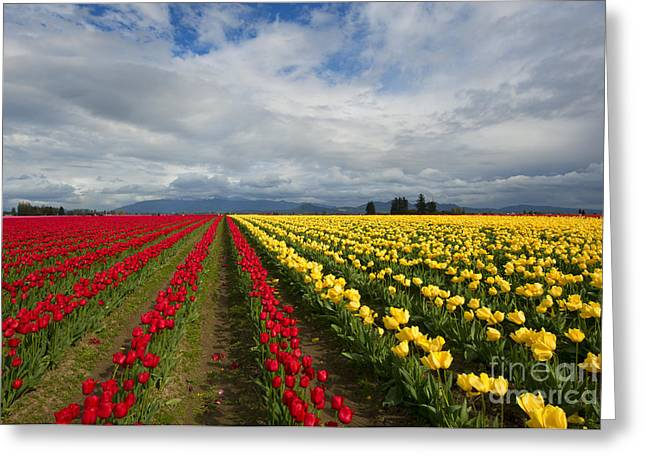 Tulip Fields Greeting Cards - Yellow and Red Greeting Card by Mike Dawson