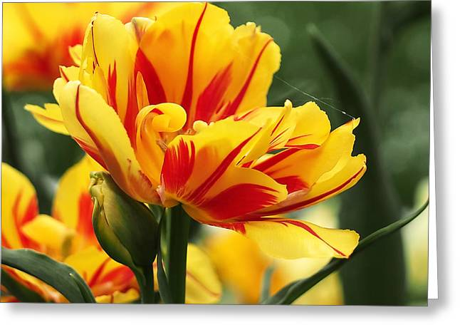 Fresh Greeting Cards - Yellow and Red Triumph Tulips Greeting Card by Rona Black