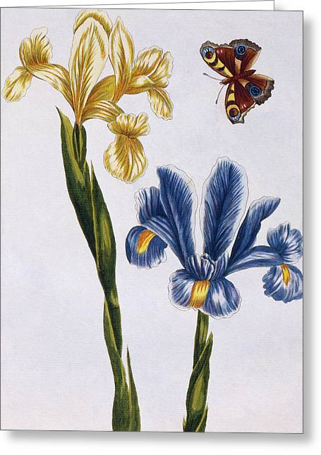 Yellow And Violet Irises Greeting Card by Pierre-Joseph Buchoz