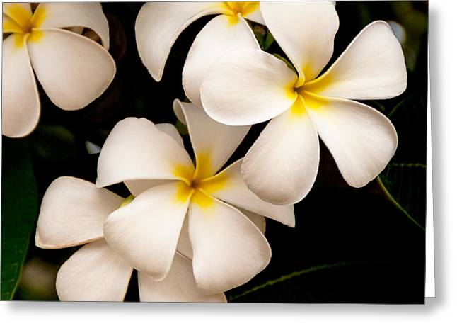 Tropical Plants Greeting Cards - Yellow and White Plumeria Greeting Card by Brian Harig