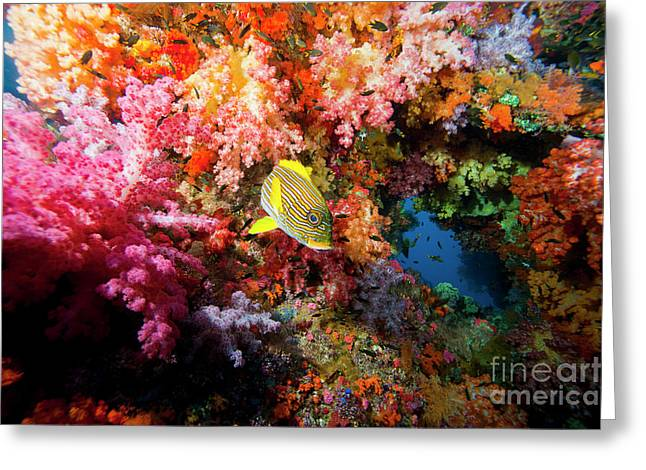 Undersea Photography Greeting Cards - Yellow Banded Sweetlip Fish And Coral Greeting Card by Beverly Factor