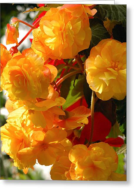 Medium Flowers Greeting Cards - Yellow Begonia Flowers.  Victoria Greeting Card by Darlyne A. Murawski