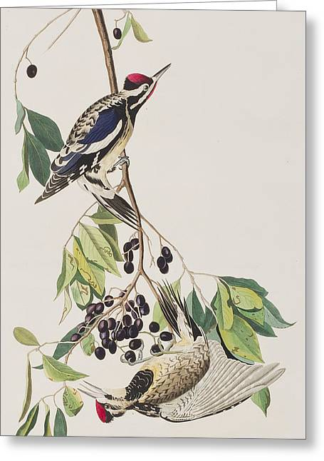 Calligraphy Print Greeting Cards - Yellow bellied Woodpecker Greeting Card by John James Audubon