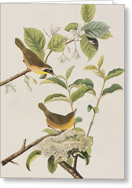 Yellow-breasted Warbler Greeting Card by John James Audubon